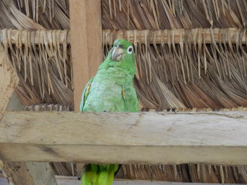 Victoria the green parrot perched on a roof beam.